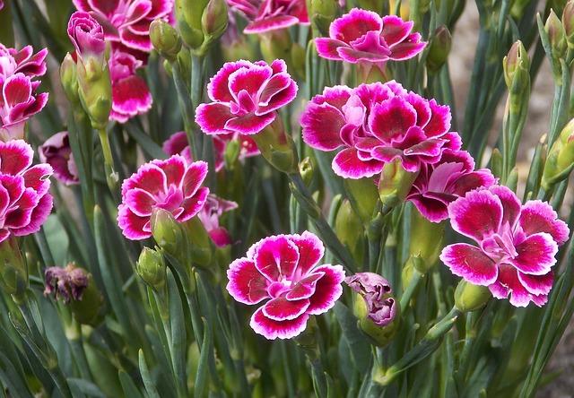 růžové karafiáty.jpg