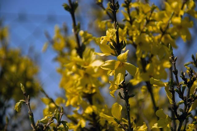 květy zlatého deště