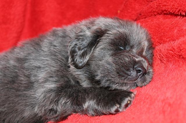 štěně, tibetská doga, doga, spáč